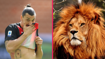 Zlatan Ibrahimović sous le feu des critiques après avoir tué un lion. Un animal qu'il a pourtant gravé dans le dos ! Icon Sport